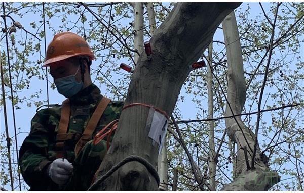 静安绿化开展2020年行道树冬修工作