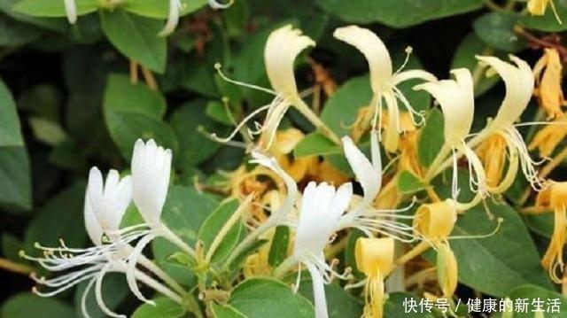 野生金银花,除了泡茶另有妙用,能治病救人,无奈常人却很少知道!