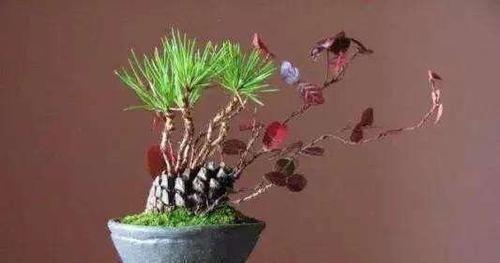 """捡了个""""松果""""插在盆里,不几天长成了盆景,摆在家里太漂亮了"""