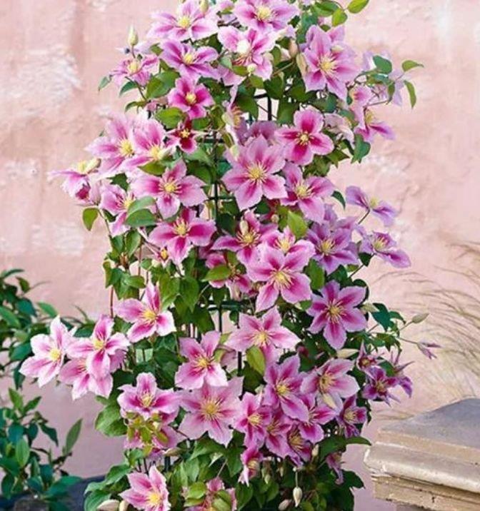 现在养点这个花,春节前后,直接开成百花园,家中必备!
