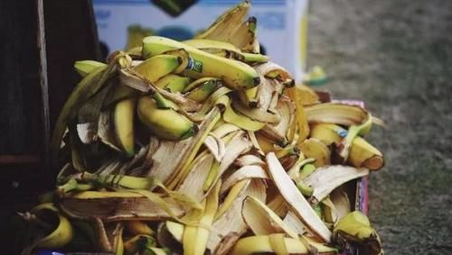 香蕉皮、柚子皮,冬日养花全别丢,擦叶子堆肥效果不一般