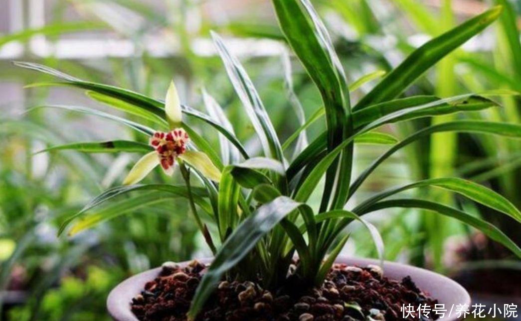 兰株 天热了,兰花养护很关键,切记不能乱施肥