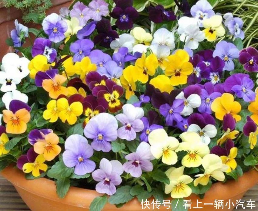 居家就养此款花卉,花大色艳胜玫瑰,芳香四溢,养在家中香飘满屋