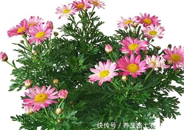 花卉|三种盆栽,花开一茬又一茬,便宜还好养,养一盆全年有花赏!