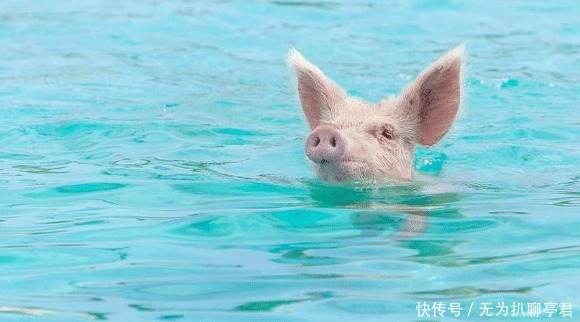 将家 他们将家猪丢弃在无人岛,几年之后,它们的生活是这样的!