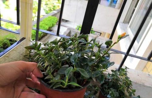 入冬后,怎么养好金鱼花?注意前4点就能叶片油绿、花开满盆