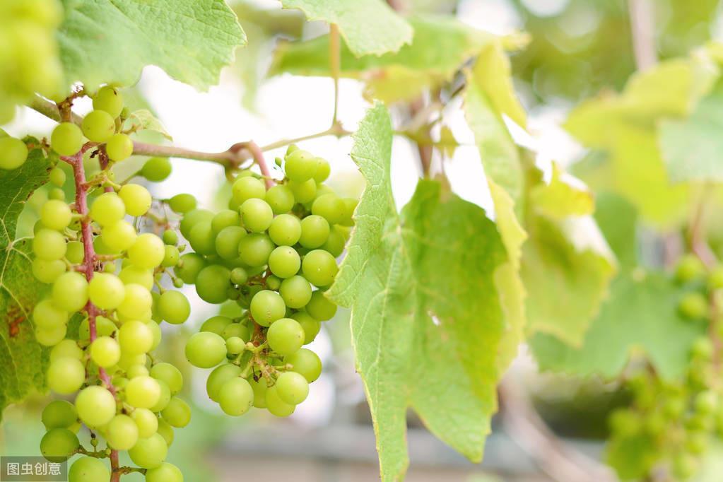 心理測試:哪一串綠葡萄最清甜可口?測試你下周會與貴人相遇嗎!