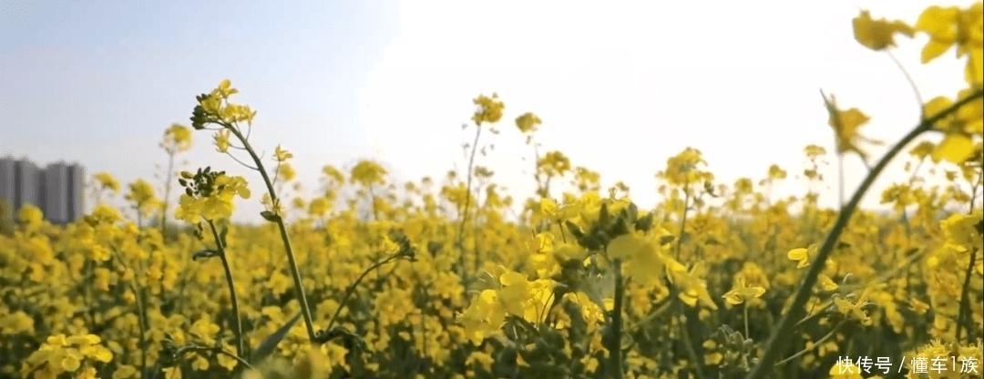菏澤又一處「網紅」打卡地!百畝油菜花田驚艷刷屏