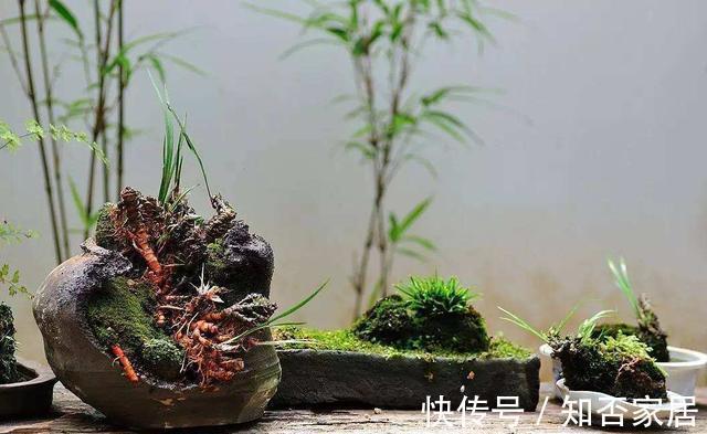 """吊兰 路边看到""""三种花"""",掰些枝埋土里扦插,""""天气热""""还有利于生根"""