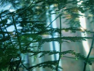 瀑布|常给文竹喝5种水,文竹长成瀑布,且绿油油不黄叶