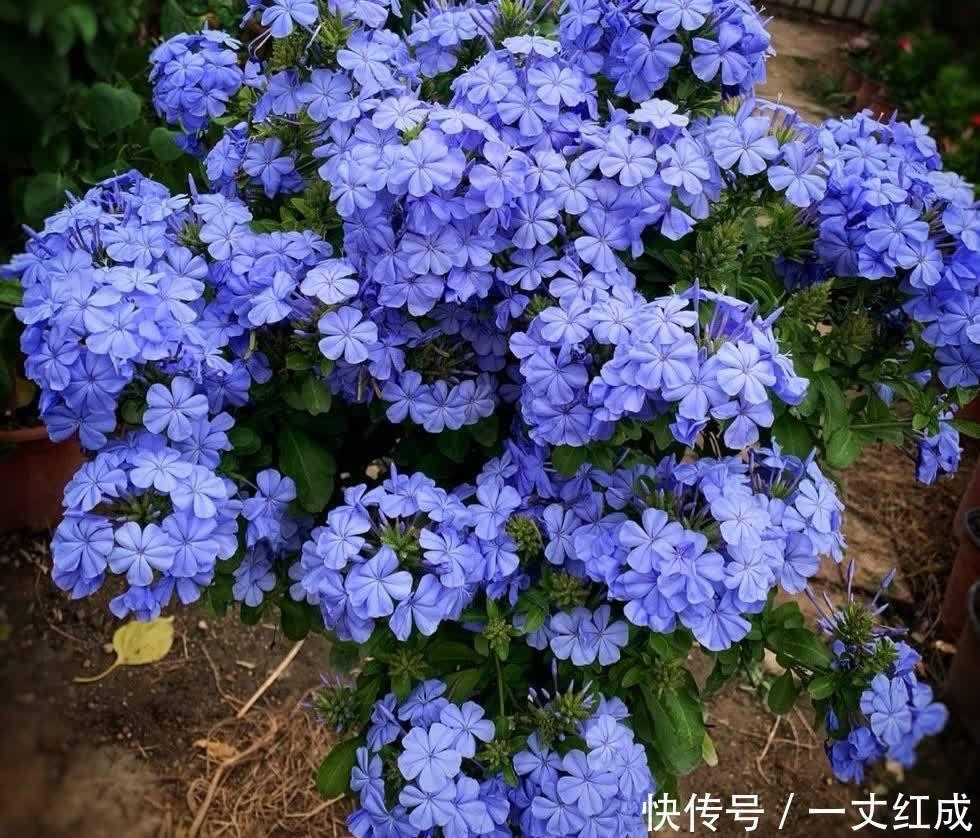 """长寿花 初夏扦插""""4种花"""",一周生根沾土就活,很快就有花儿欣赏了"""