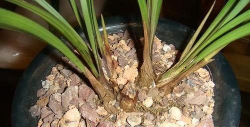 兰花从发芽到壮苗需要多长时间?