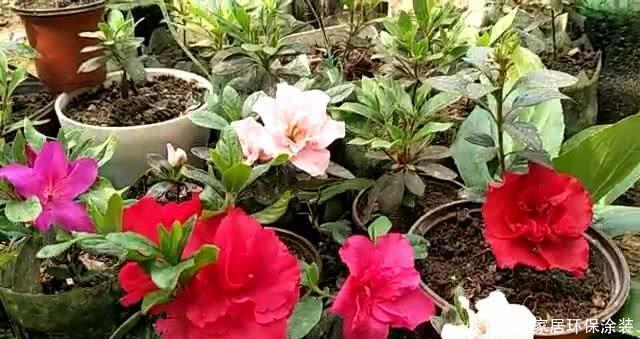 花店|用一个破盆扦插杜鹃一百棵,到处开花挡不住,比花店买的强多了