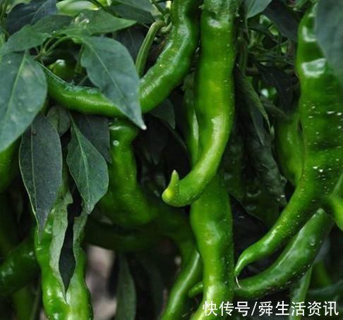 買青椒時如何區分辣和不辣教你3個小妙招,保證買到你想要的