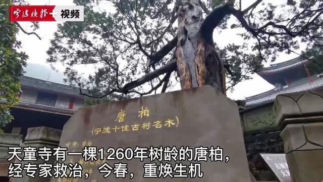 天童寺1260岁唐柏生了一场病几近枯死 经救治后复荣