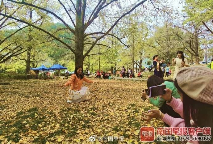 灵川|桂林灵川海洋乡的银杏黄了 引来八方游客观赏