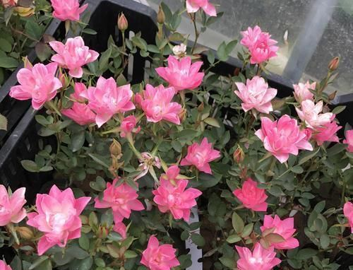 花期超长的5种月季,单朵能开一个月,阳台养一盆,长期有花赏