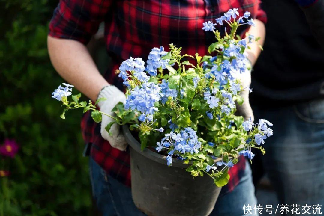 花量丰富,花期极长的蓝雪花,易养好照顾,养成盆栽后长得特别快