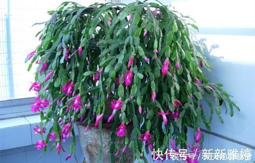 叶片 张大妈养蟹爪兰,只浇一种水,10天浇一次,11月就能开出好多花