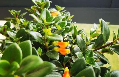 金鱼吊兰在花苞期,施什么肥好?