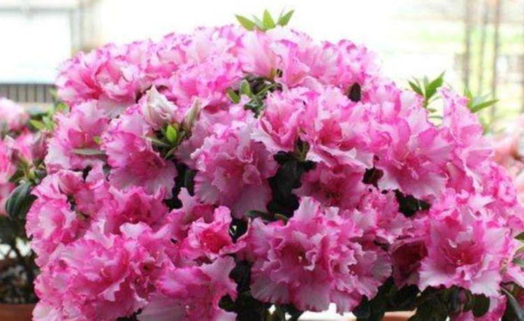 几种花,开花漂亮又好养,好养易爆盆,阳台开花变温馨小花园